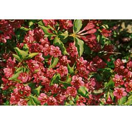 Weigela florida ´Eva Rathke´ / Vajgela kvetnatá, 15-20 cm, K9