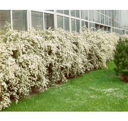 Spiraea vanhouttei / Tavoľník van Houtteho, bal. 10 ks K9 na živý plot