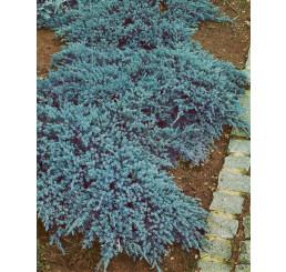 Juniperus squamata 'Blue Carpet' / Borievka ´Modrý koberec´, C2