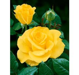 Rosa ´Mabella´ / Ruža čajohybrid jemnežltá, krík, BK