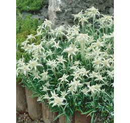 Leontopodium alpinum ´Edelweiss´ / Plesnivec alpínsky, K9