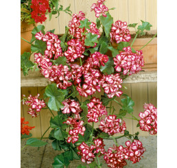 Pelargonium pelt. ´Mexicanerin´ / Muškát, bal. 3 ks, 3x K7