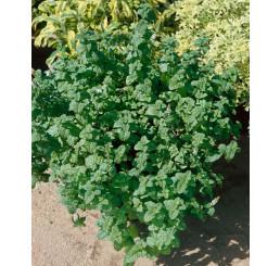 Mentha crispa / Marocká mäta, K9