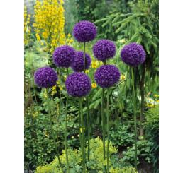 Allium giganteum / Obrovský cesnak, 20/+