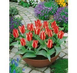 Tulipa ´Pinocchio´ ® / Tulipán, bal. 5 ks, 11/12