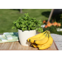 Mentha arvensis Banana / Banánová mäta, K12