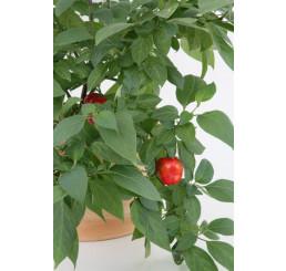 Capsicum pubescens / Peruánske stromové čili papričky, K12