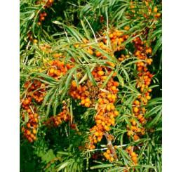 Hippophae rhamnoides / Rakytník rašetliakový kolekcia, pár rastlín, 2xK9