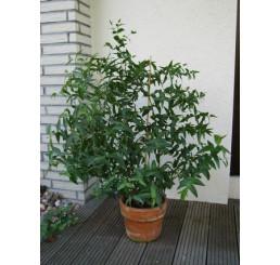 Eucalyptus parvula / Mrazuvzdorný eukalyptus, K12