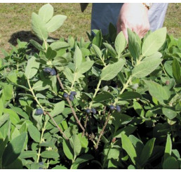 Lonicera kamtschatica / Kolekcia 3 zemolezov kamčatských, 3 rastliny, 3xK9