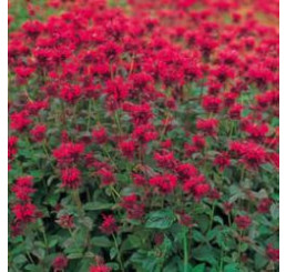 Monarda ´Panorama Red Shades´ / Monarda, C1