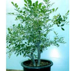 Murraya paniculata / Muraja metlinatá, mladá rastl., K7