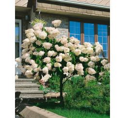 Hydrangea paniculata ´Grandiflora´ / Hortenzia metlinatá, 15-20 cm, K9