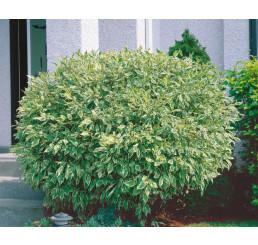 Cornus alba ´Elegantissima´ / Svíb biely, 40-50 cm, C2