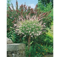 Salix integra ´Hakuro Nishiki´ / Vŕba kompaktná, kmienok 120 cm, C5