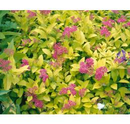 Spiraea japonica ´Goldmound´ / Tavoľník japonský, 25-30 cm, C3