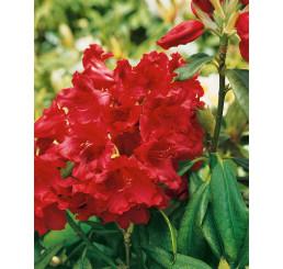 Rhododendron hybr. ´Nova Zembla´ / Rododendrón červený, 50-60 cm, C5