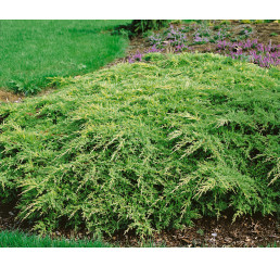 Juniperus chinensis ´Gold Star´ / Borievka, 15-20 cm, C1,5