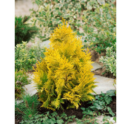Chamaecyparis lawsoniana ´Yvonne / Ivonne´ / Cypruštek lawsonov, 15-20 cm, K9