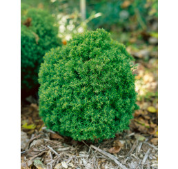 Thuja occidentalis ´Teddy´ / Tuja , 15 - 20 cm, K7