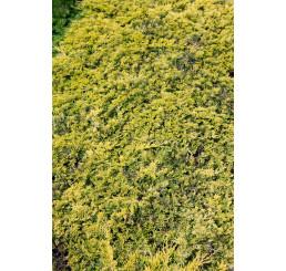 Juniperus horizontalis 'Golden Carpet' / Borievka, C3