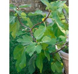 Ficus carica ´Dotato´ / Figovník, 80-100 cm, C2