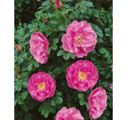 Rosa rugosa syn. villosa ´Karpatia´ / Ruža plodová, 30-40 cm, K9