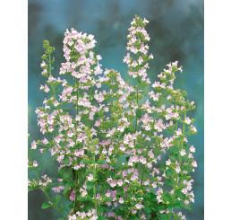 Calamintha nepeta ssp. Nepeta / Marulka kocúrnik, K9