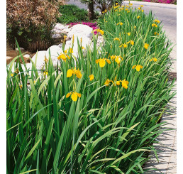Iris pseudacorus / Kosatec žltý, K9