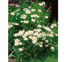 Leucanthemum vulgaris ´Maikönigin´ / Margaréta obyčajná, K9