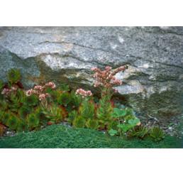 Sempervivum montanum / Skalnica horská, K9