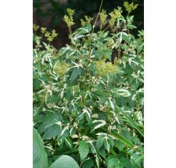 Filipendula ulmaria ´Variegata´, Túžobník brestový, K9