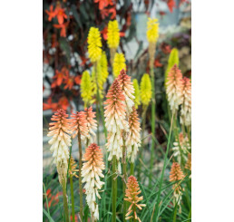 Kniphofia 'Orange Vanila Popsicle®' / Fakľovka, K11