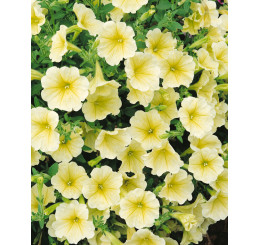 Petunia ´Surfinia Victorian Yellow´® / Petúnia žltá kompakt., bal. 3 ks, 3x K7
