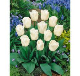 Tulipa ´Calgary´ / Tulipán, bal. 5 ks, 11/12
