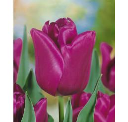 Tulipa ´Passionale´ / Tulipán, bal. 5 ks, 11/12