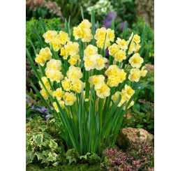 Narcis ´Yellow Cheerfulness´, bal. 5 ks, 12/14