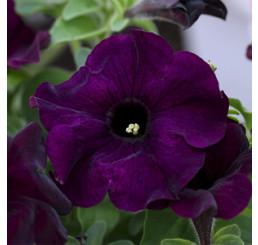 Petunia ´Crazytunia® Blue Night´ / Petúnia, bal. 6 ks, 6x K7