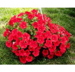 Petunia ´Plus Red´ / Petúnia červená jednoduchá, bal. 6 ks, 6x K7