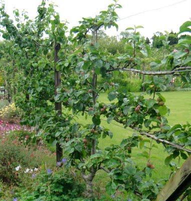 Živé ploty a steny z ovocných drevín a krov