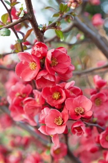 Kvitnúce dreviny (Chaenomeles)