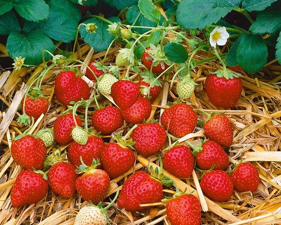 Výsadba a spôsoby výsadieb jahôd