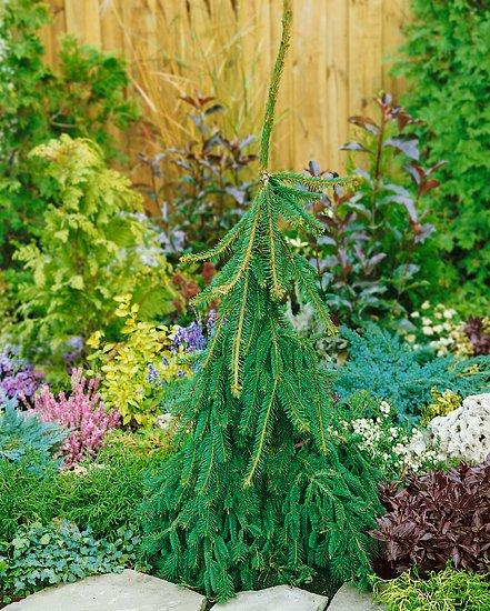 Zaujímavé dreviny (Picea abies Inversa)