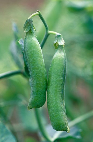 Popínavky zo semienka