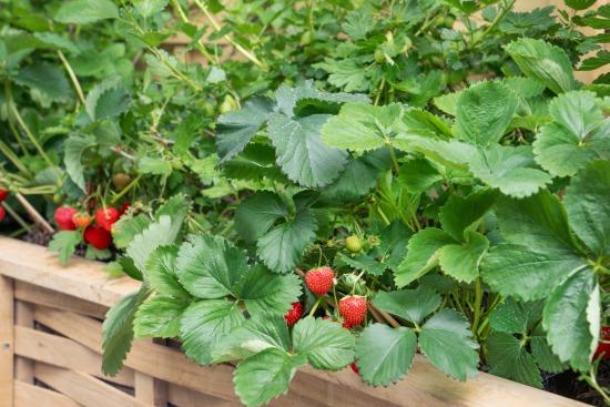 Päť tipov pre úspešné pestovanie jahôd