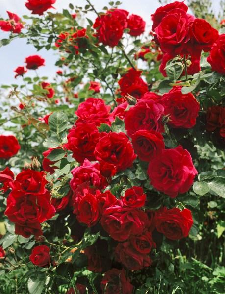 Ako na výsadbu ruží?