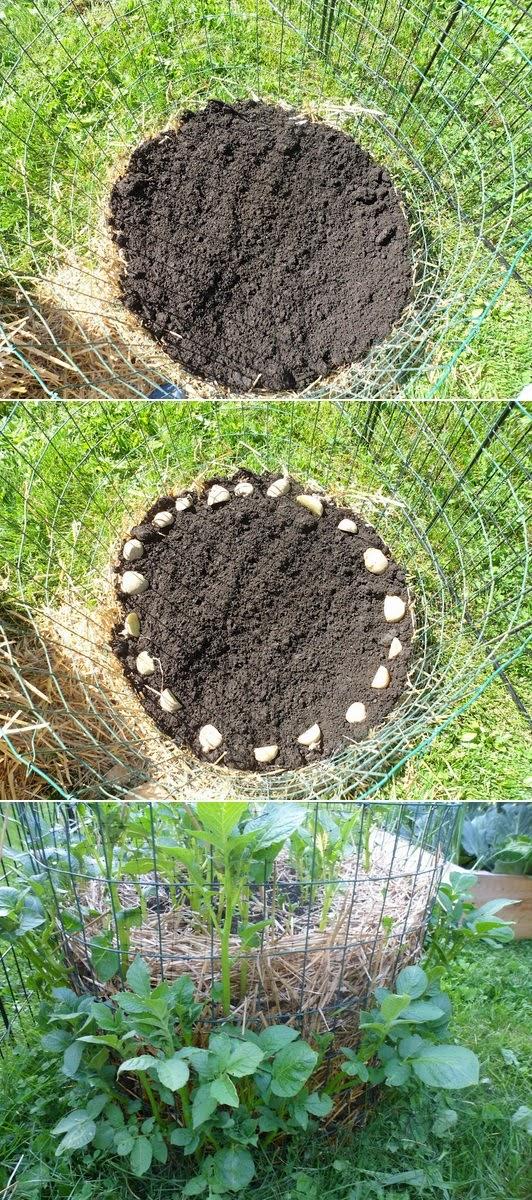 Alternatívne pestovanie zemiakov