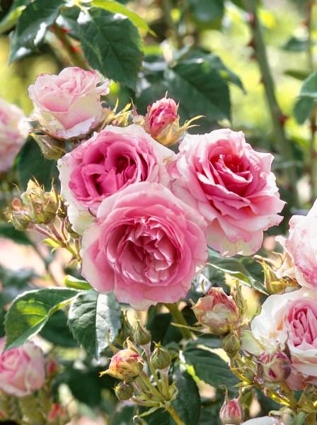 Výsadby ruží