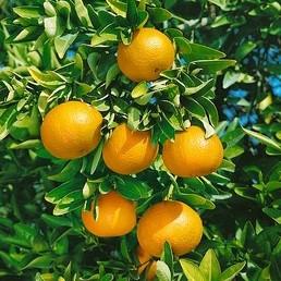 Subtropické ovocie