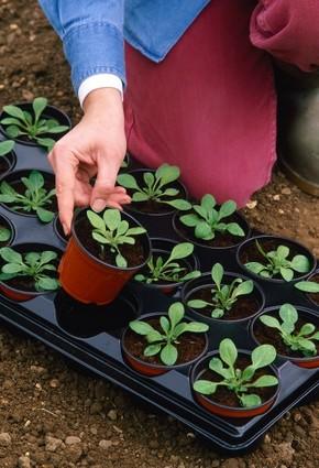 Mladé rastliny presadené do 9-cm kvetináčov